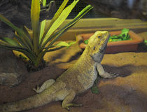 Bearded dragons. Lizard Lying on sand Royalty Free Stock Image