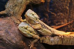 Bearded Dragons. Nice Bearded dragons, Pogona vitticeps Royalty Free Stock Photography