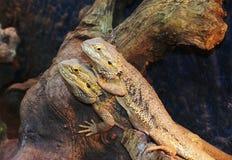 Bearded Dragons. Nice Bearded dragons, Pogona vitticeps Stock Photos
