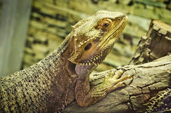 Bearded dragons (pogona vitticeps). On the wood Stock Image