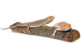 Bearded dragons in studio. Bearded dragons in front of white background Stock Images