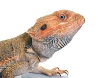 Bearded dragons in studio. Bearded dragons in front of white background Stock Image
