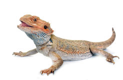 Bearded dragons in studio Royalty Free Stock Photography
