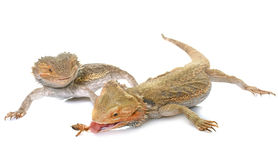 Bearded dragons in studio. Bearded dragons in front of white background Stock Photography