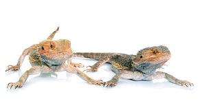 Bearded dragons in studio. Bearded dragons in front of white background Royalty Free Stock Photography