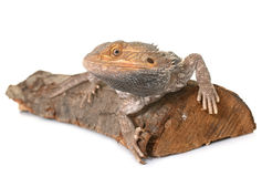 Bearded dragons in studio. Bearded dragons in front of white background Royalty Free Stock Image