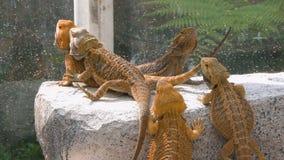 Bearded dragons Sunbathing in Zoo stock video footage