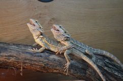 Bearded Dragons. In a vivarium Royalty Free Stock Photo