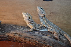 Bearded Dragons. In a vivarium Stock Image