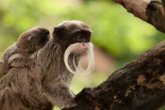 A bearded emperor tamarin carrying a baby on its back stock image