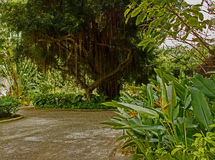 Bearded Fig Tree at Harrison`s Cave in Barbados Royalty Free Stock Photo