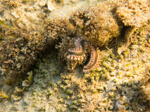 Bearded fireworm. Underwater photo of a Bristle Worm - Bearded fireworm, Mediterranean Sea royalty free stock photography