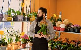 The bearded flower seller holds flowers in a pot in a garden mar. The bearded male flower seller holds flowers in a pot in a garden market shop royalty free stock images