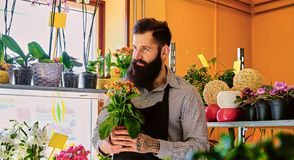 The bearded flower seller holds flowers in a pot in a garden mar. The bearded male flower seller holds flowers in a pot in a garden market shop royalty free stock image