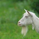 Bearded Goat Stock Photos