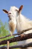 Bearded goat Royalty Free Stock Images