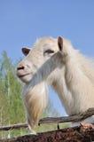 Bearded goat Stock Photo