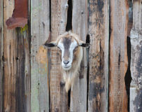 Bearded goat looking through a wooden boards. Bearded goat looking through a wooden fence boards Royalty Free Stock Images