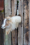 Bearded goat looking through a wooden boards Royalty Free Stock Image