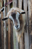 Bearded goat looking through a wooden boards. Bearded goat looking through a wooden fence boards stock photography