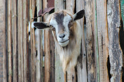 Bearded goat looking through a wooden boards. Bearded goat looking through a wooden fence boards royalty free stock image