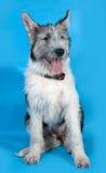 Bearded gray dog sitting on blue Royalty Free Stock Images