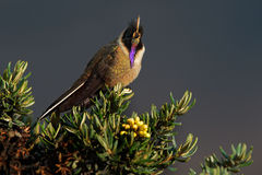 Bearded Helmetcrest or Buffy Helmetcrest, Oxypogon guerinii stuebelii, beautiful crest hummingbird from Colombia. Bird from Los Ne Stock Image