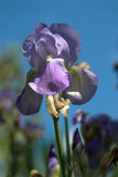 Bearded Iris Against Blue Sky. Bearded Iris flower against blue sky stock images