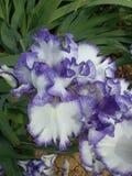 Bearded Iris Stock Image