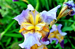 Bearded iris close up Royalty Free Stock Images