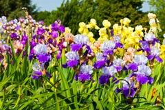 Bearded iris Royalty Free Stock Photo