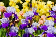 Bearded iris Royalty Free Stock Image