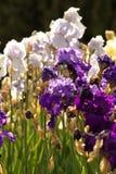 Bearded iris Royalty Free Stock Photography
