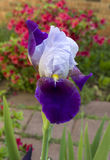 Bearded iris. A  in full bloom with a rhododendron in the background Royalty Free Stock Photos