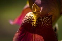 Bearded Iris in Garden Royalty Free Stock Images