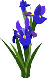 Bearded Iris Stock Images
