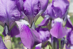 Bearded Iris Purple Stock Photos
