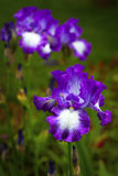 Bearded Iris Royalty Free Stock Photos