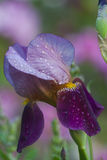 Bearded Iris Stem Stock Images