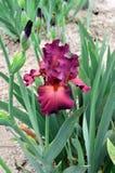 Bearded Iris variety Lady Friend stock photography