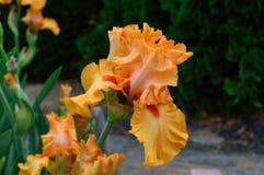 Bearded Iris variety Nile Flower royalty free stock photo