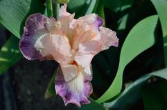Bearded Iris variety Overflowing Heart royalty free stock photography
