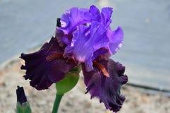 Bearded Iris variety Romantic Evening stock image