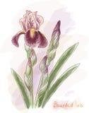Bearded Iris. Watercolor Imitation. Stock Photo