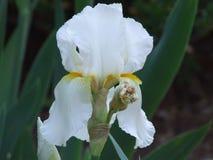 Bearded iris. White bearded iris in north carolina stock photos