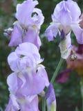 Bearded iris. White bearded iris in north carolina stock images