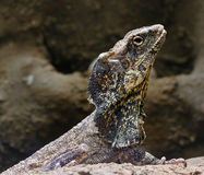 Bearded lizard Royalty Free Stock Images