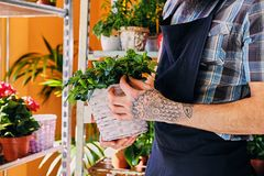 Bearded male with tattooed arms. Holds a pot with flowers stock photography