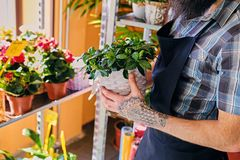 Bearded male with tattooed arms. Holds a pot with flowers stock image