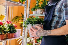 Bearded male with tattooed arms. Holds a pot with flowers royalty free stock images